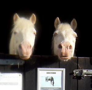 Welsh equine twins Bill and Ben