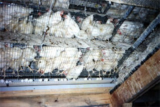 Laying hens stuffed into battery cages, where they can't stretch out or lie down
