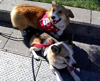 Jack Corgi out puttin' paws up fur Prop 2 with wine country dog Tilin Corgi