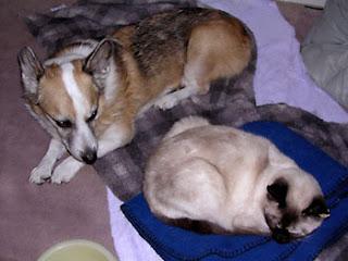 Me, Tilin winecountrydog Corgi, sitting with my Ani Siamese cat
