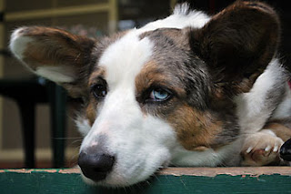 Cardigan Welsh Corgi photograph copyright flickr Acts of Dog