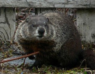 another groundhog buddy