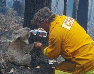Koala found in Vic fires