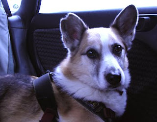 Me, Tilin Corgi, riding in our car
