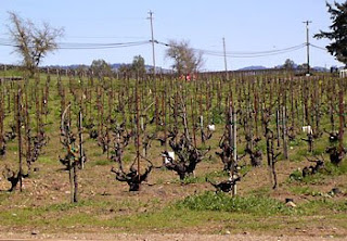 old Zinfandel vines