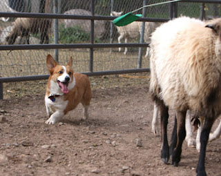 Emma Corgi herding sheep