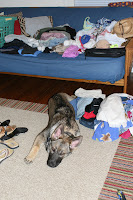 German Shepherd Puppy Helping Me Pack