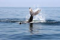 Humpback Whale Flukes in Banderas Bay, Puerto Vallarta