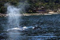 Mother Humpback & Calf in Banderas Bay, PV