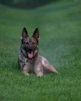 Zada, a European Line German Shepherd