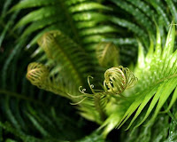Fern Fiddlehead