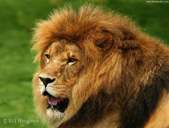 Lion|Dangerous, African Lion, Beautiful Lion, Forest, Park Family Felidae Lion, Big Cats, Big Teeth Lion