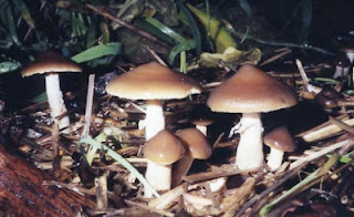 Psilocybe subaeruginascens