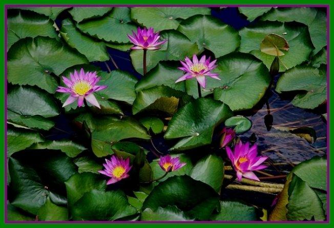 087- Lotus bahçesi
