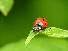 Lady bugs as natural pest control