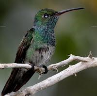 El Colibri Esmeralda hondureño,ave endemica en peligro de extincion
