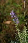 Lavender, Lovely Lavender
