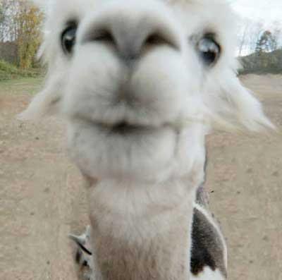 http://4.bp.blogspot.com/_f98opUNuVXc/SpTyqnGb-RI/AAAAAAAAJlk/NFl-g_Y5G7g/s400/Alpaca.jpg