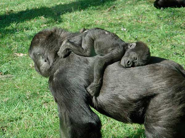 http://4.bp.blogspot.com/_f98opUNuVXc/TKtTGPFKlYI/AAAAAAAAS2M/EC4ybKZN7W4/s1600/Snoozing+baby+gorilla.jpg