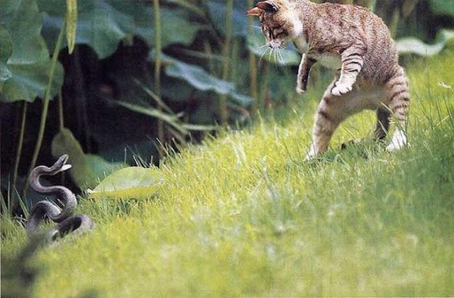 http://4.bp.blogspot.com/_f98opUNuVXc/TP55hqcRhXI/AAAAAAAAUX0/yoeohFOLKwc/s400/Cat%2Bfights%2Bsnake.jpg