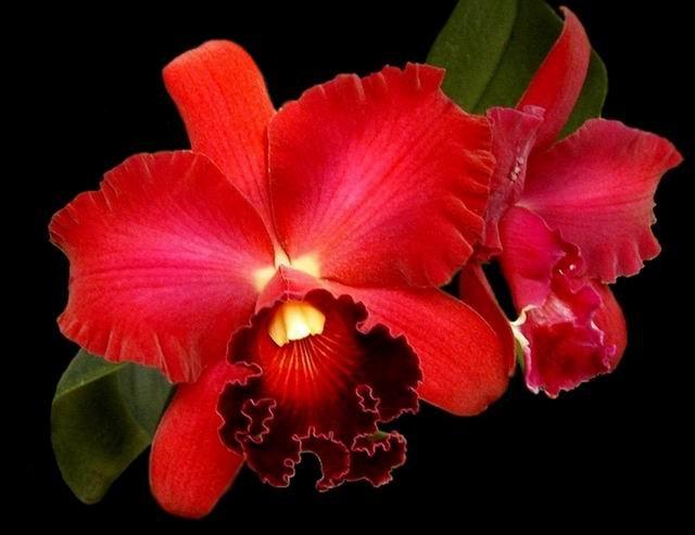 http://4.bp.blogspot.com/_fBS_p567AwI/TGw5235vhfI/AAAAAAAAACA/IcMCmlA4d_U/s1600/Potinara_orchid_image_Pot_Miyas_Radiance_Red_Beauty.jpg