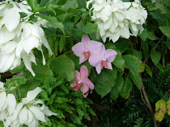 phalaenopsis and mussenda