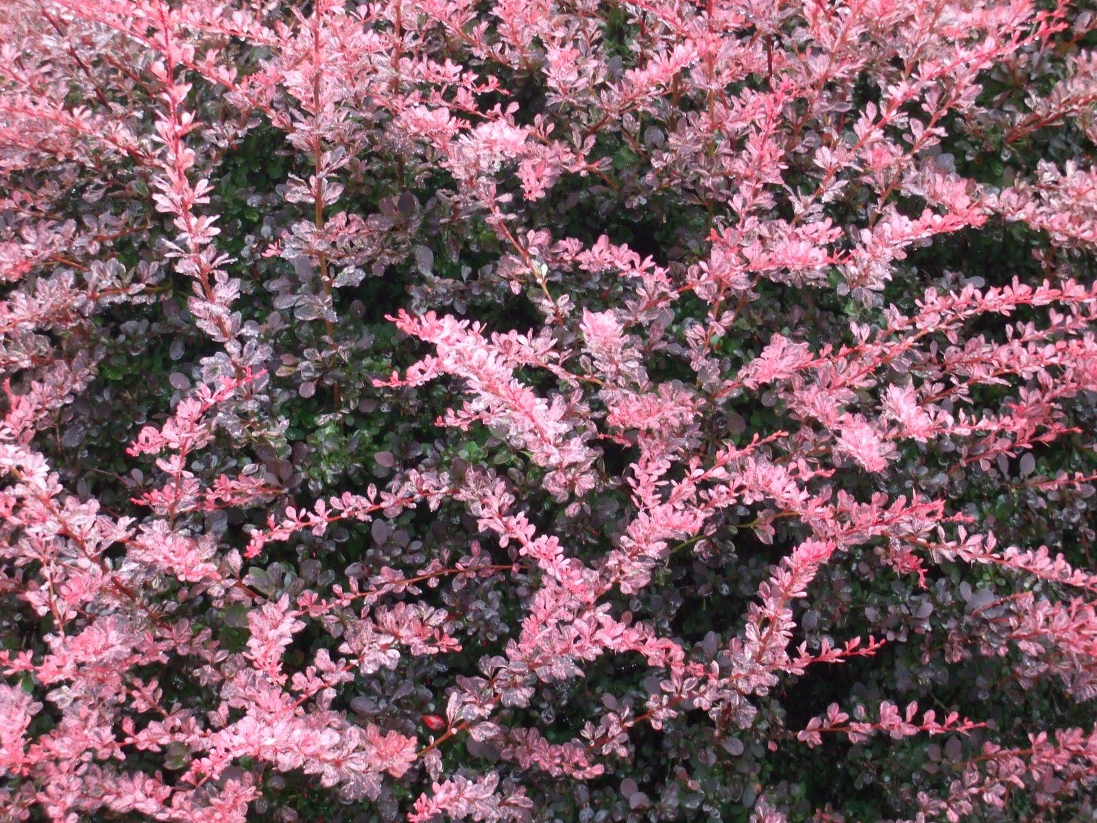 Spirea Bush Varieties