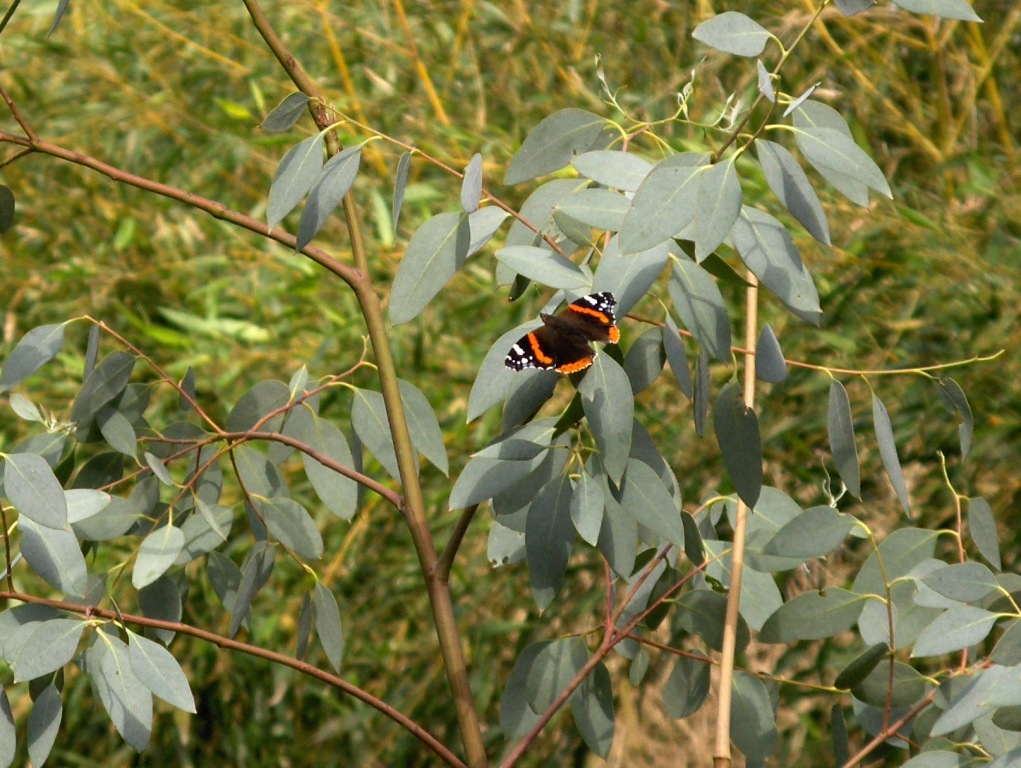 etherische eucalyptusolie