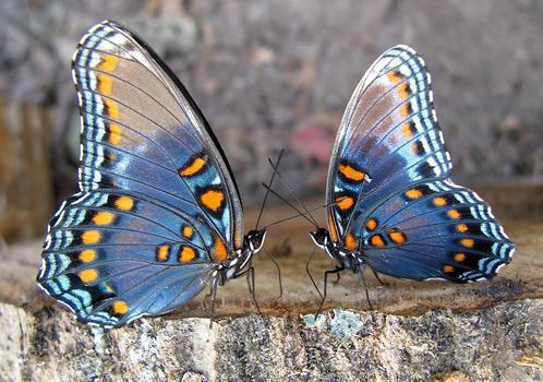 Two-Butterflies.jpg