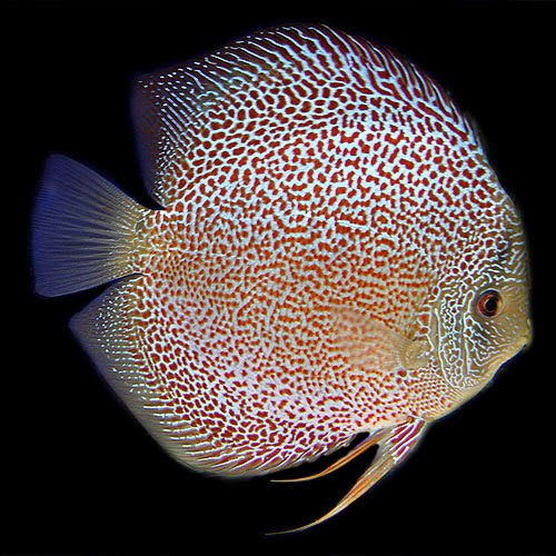 aquarium discus on pinterest discus fish discus and