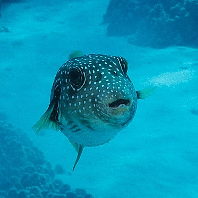Stripebelly Puffer (Arothron hispidus)