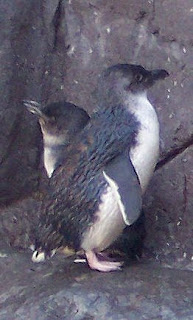 Blue Penguin (Eudyptula minor)