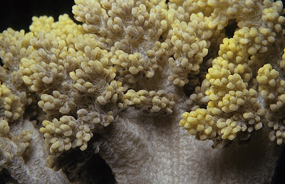 Broccoli Coral (Dendronephthya sp.)