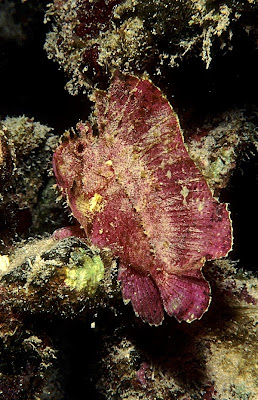 Leaf Scorpionfish (Taenianotus triacanthus)