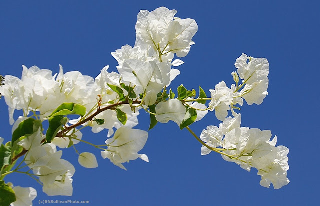 White Bougainvillea
