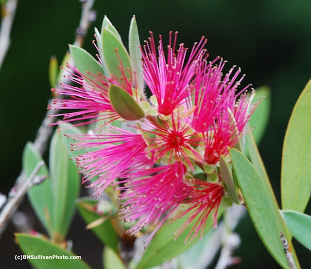 Bottlebrush Tree (Callistemon sp.)