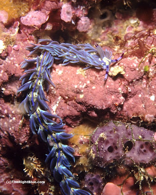Pteraeolidia ianthina