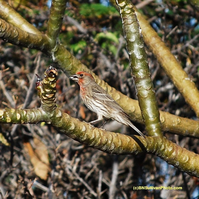 Male House Finch (Carpodacus mexicanus)