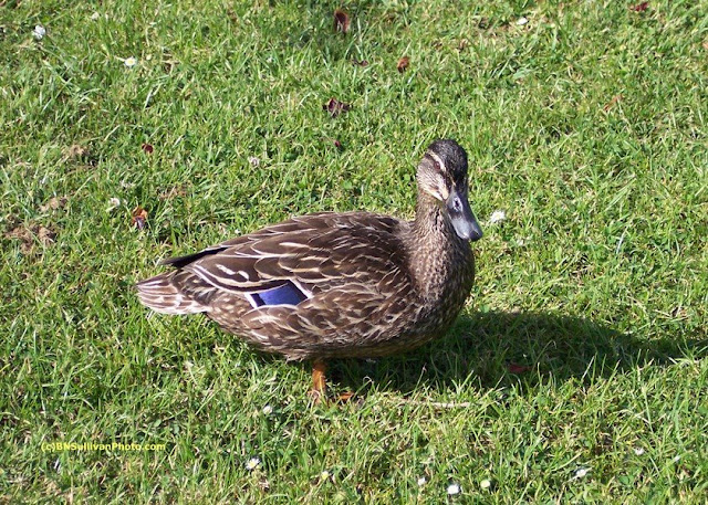 Female Mallard duck (Anas platyrhynchos)