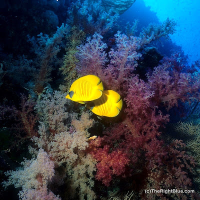 Masked Butterflyfish (Chaetodon semilarvatus