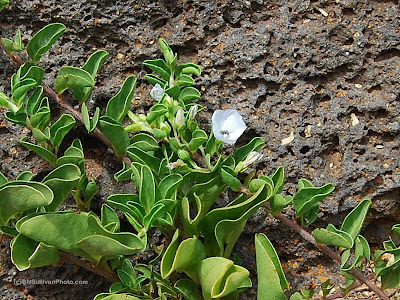 Jacquemontia ovalifolia ssp. sandwicensis