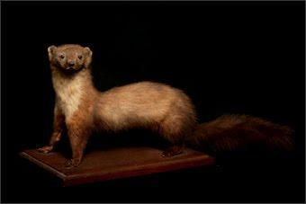 Weasel Knievel