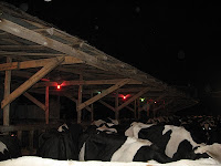 christmas lights for cows