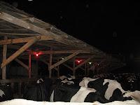 christmas lights for cows