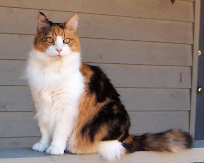 My Calico Maine Coon Cat.