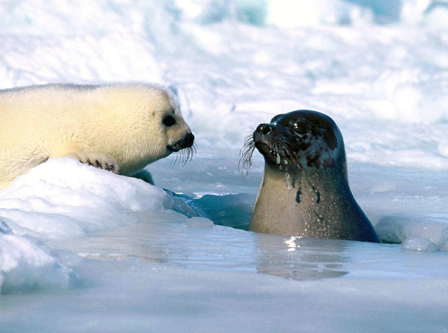Edge Of The Plank: Cute Animals: Baby Harp Seals
