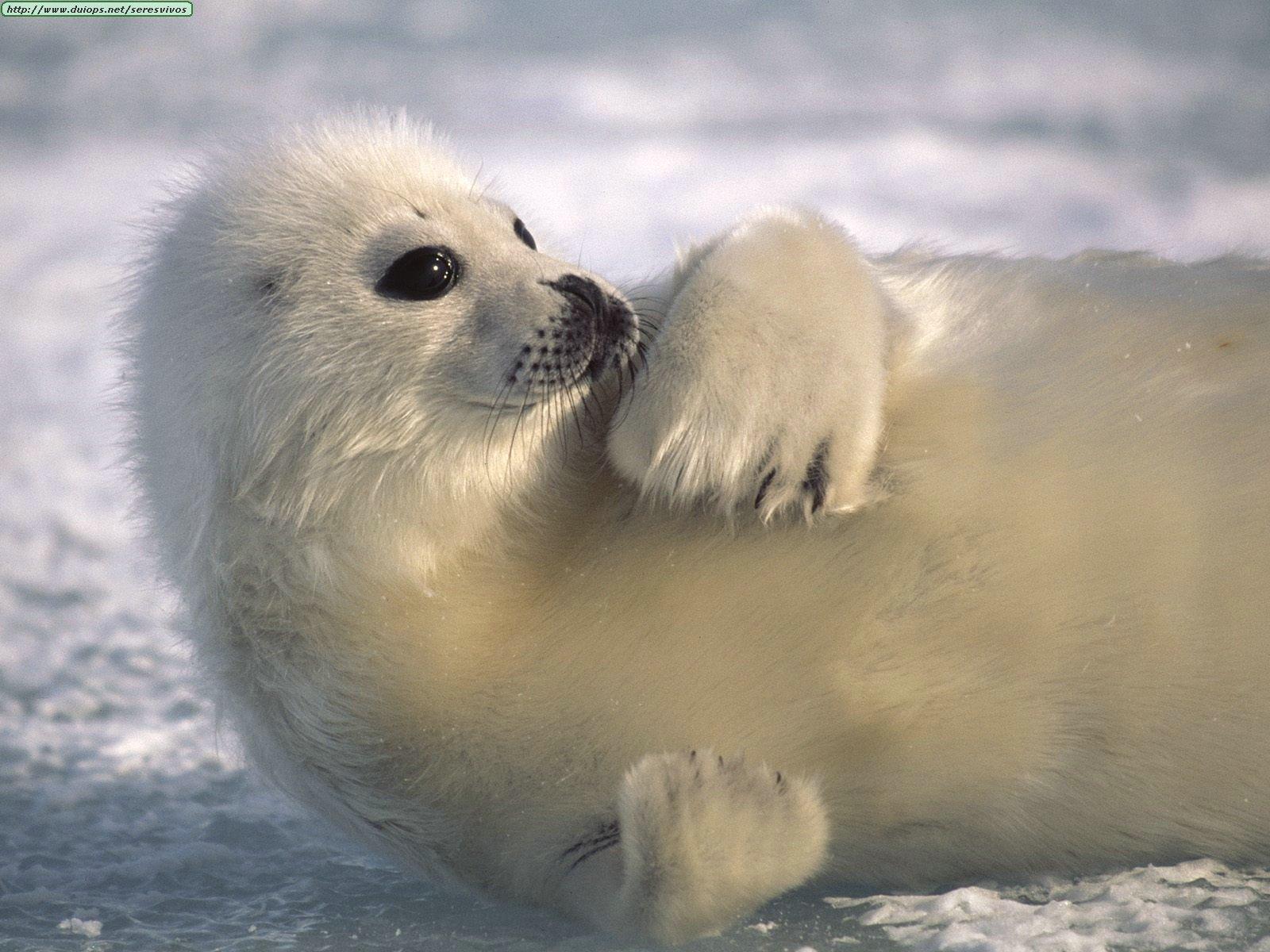 Cute Baby Harp Seal Edge Of The Plank: Cut...