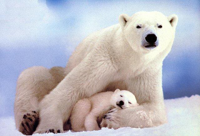 Baby polar bear sleeping - photo#7
