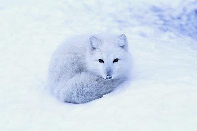 [Image: ArcticFoxCoveBearUSGS.jpg]