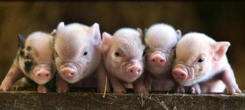 http://4.bp.blogspot.com/_fU7LdRkUMVM/TU07nmurBFI/AAAAAAAAD3w/KwZvcEw_nb8/s1600/piglets.jpg